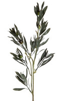 Oliivi oksa - 60 cm