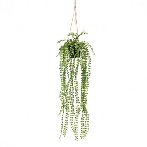 Silkkikasvi - Kääpiököynnösviikuna ruukussa
