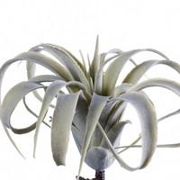 Viherkasvi - Tillandsia, harmaa