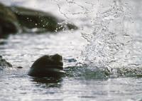 Kesäkortti: Saimaannorppa vedessä
