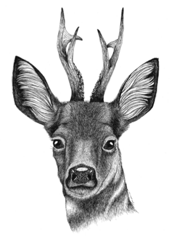 Pohjolan eläimet: Metsäkauris