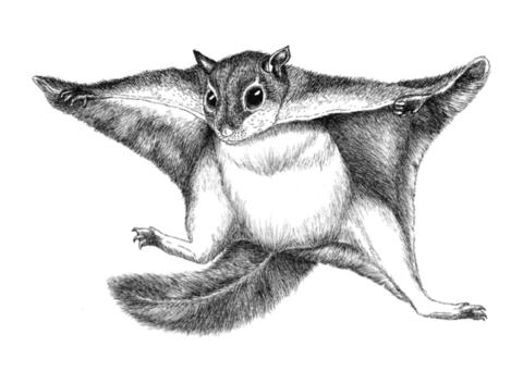 Pohjolan eläimet: liito-orava