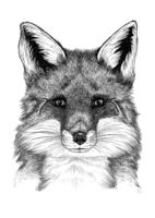 Pohjolan eläimet: Kettu