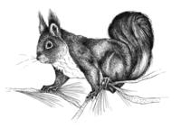 Pohjolan eläimet: Orava