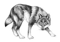 Pohjolan eläimet: Susi