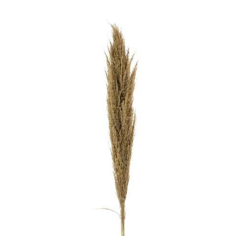 Pampaheinä 110-125cm