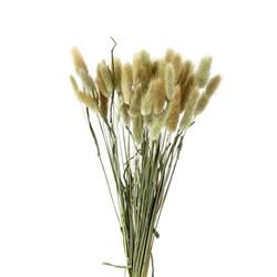 Jänönhäntä, Lagurus (30kpl), 50-60cm, aito