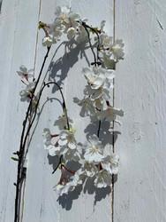 Riippuva kirsikankukkaoksa, valk.