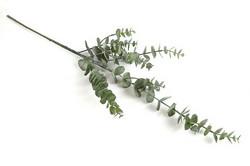 Eucalyptusoksa