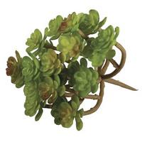 Succulent Sedum, 9,5 x 8 cm