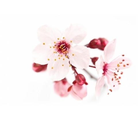 Kirsikankukka-tuoksuöljy