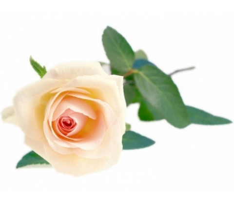 Ruusu-tuoksuöljy
