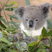 Eteerinen eukalyptusöljy