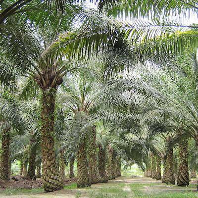 Palmuöljy, luomu