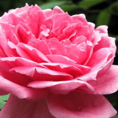 10 % ruusuabsoluutti 10 ml