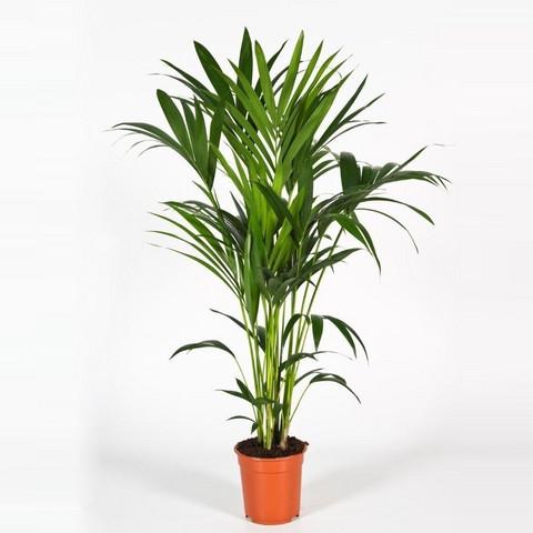 Howea palm 130cm