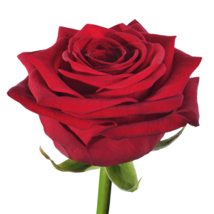 Long red rose individually wrapped