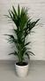 Howea palm in pot