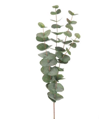Eucalyptus big