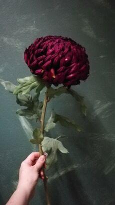 Chrysanthemum big