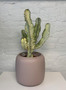 Euphorbia marmorata