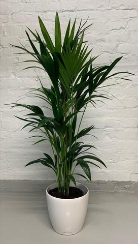 Kentia palm, Ready to go
