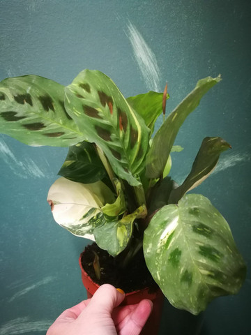 Prayer plant Maranta