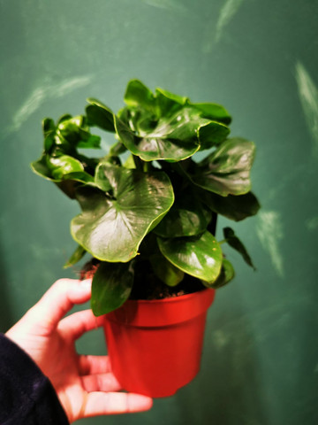 Philodendron Atp,