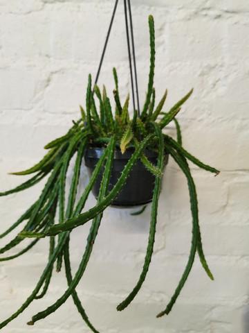 Rattail cactus