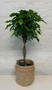 Ficus microcarpa on stem