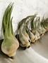 Airplant celeriana