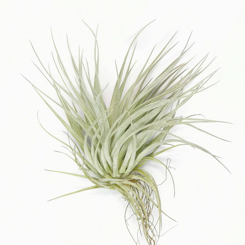 Airplant Cotton Candy