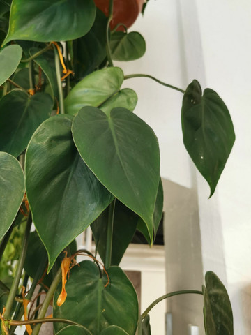 Philodendron scandens hang