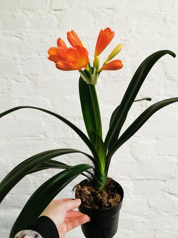 Natal lily Clivia