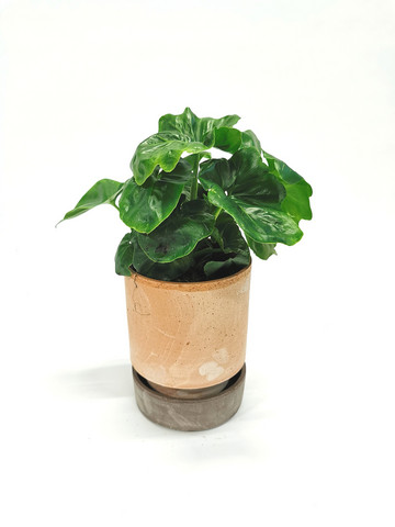 Philodendron in claypot