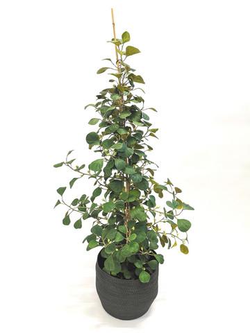 Ficus in basket