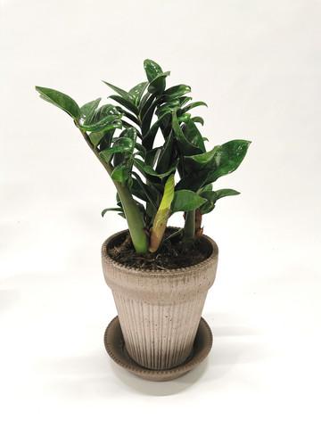 ZZ plant in claypot