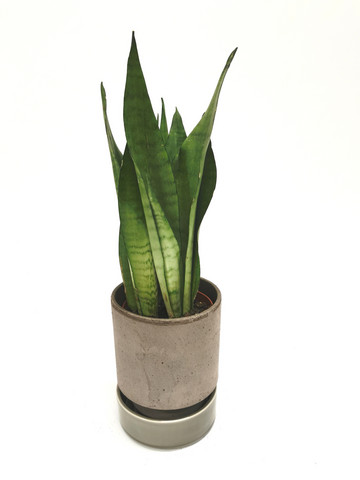 Snakeplant in claypot