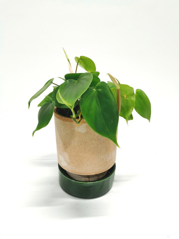 Philodendron in clay pot