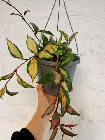 Hoya carnosa Tricolor hangpot