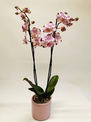 Orkidea pink in ceramic pot