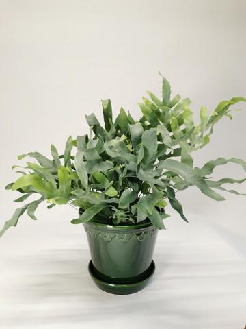 Phlebodium fern