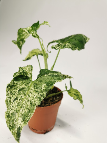 Syngonium podophyllum variegata