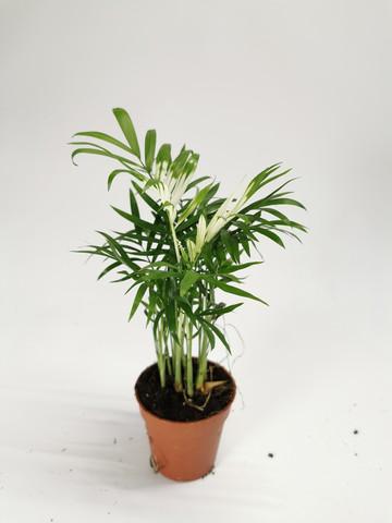 Parlor Palm variegata
