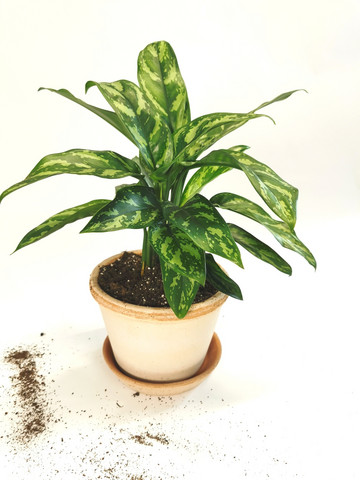 Chinese evergreen in pot