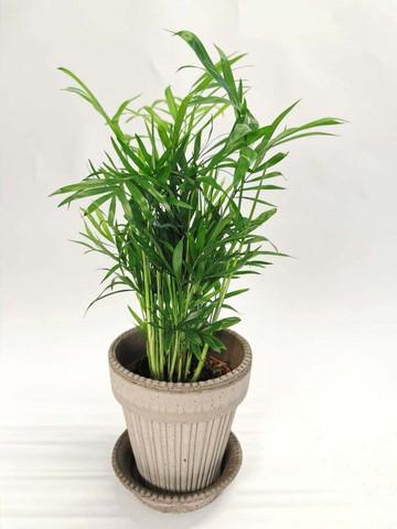 Parlor Palm mini