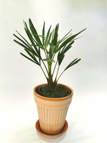 Windmill palm small