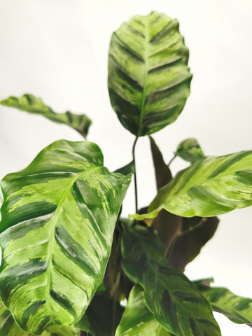 Calathea prayer plant Greenstar