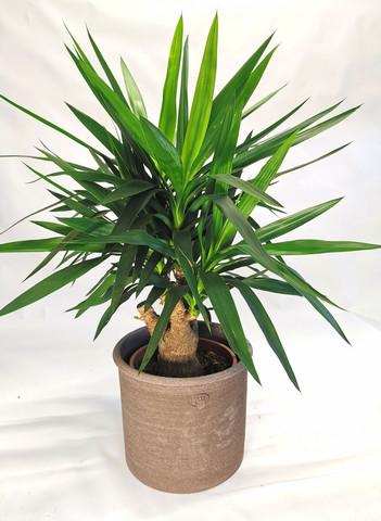 Yucca 100cm