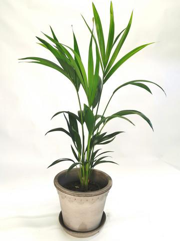 Howea palm 85cm